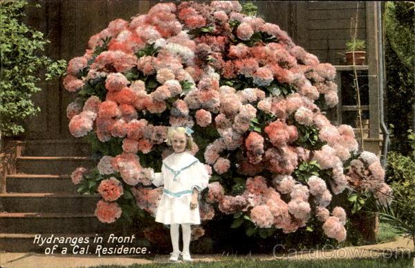 Ortanca Çiçeği Hakkında Genel Bilgiler-