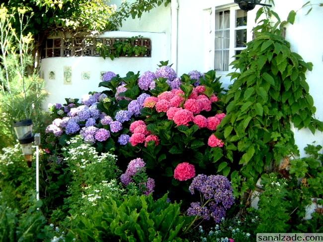 Ortanca Çiçeği Hakkında Genel Bilgiler-10