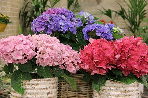 Ortanca Çiçeği Hakkında Genel Bilgiler-11