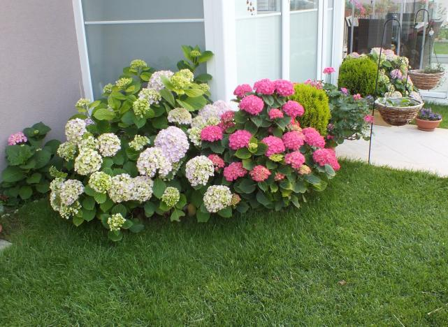 Ortanca Çiçeği Hakkında Genel Bilgiler-13