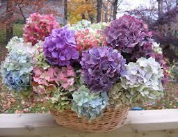 Ortanca Çiçeği Hakkında Genel Bilgiler-17