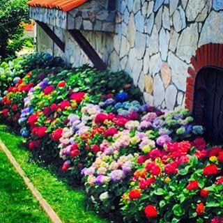 Ortanca Çiçeği Hakkında Genel Bilgiler-19