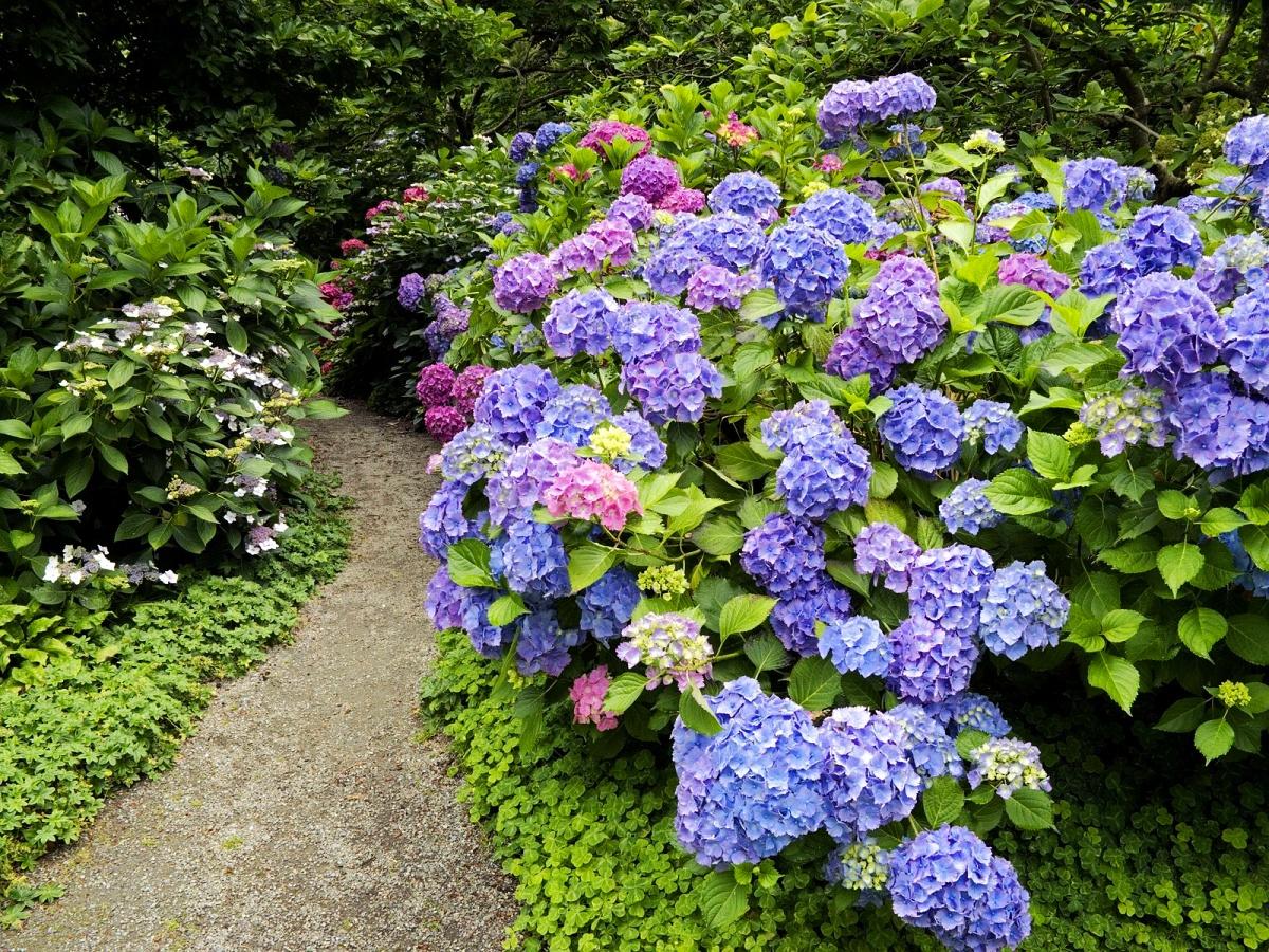Ortanca Çiçeği Hakkında Genel Bilgiler-2