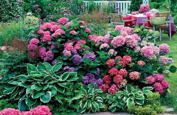 Ortanca Çiçeği Hakkında Genel Bilgiler-5