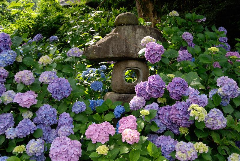 Ortanca Çiçeği Hakkında Genel Bilgiler-6
