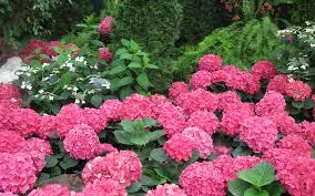 Ortanca Çiçeği Hakkında Genel Bilgiler-7