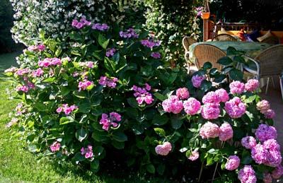 Ortanca Çiçeği Hakkında Genel Bilgiler-9