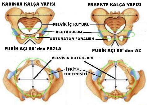 Pelvis Kemiği, Pelvis Kemiği Yapısı