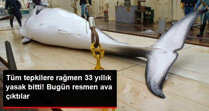 Japon balıkçılar 33 yıl sonra ilk kez ticari balina avına çıktı