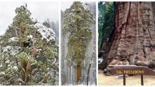 3200 Yaşındaki 75 Metre Uzunluğundaki Ağaç İlk Kez Tek Fotoğraf Karesine Sığdırıldı