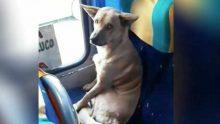 Otobüse Binip İnsan Gibi Koltuğa Oturan Köpeğe Şoför Bakın Ne Tepki Verdi