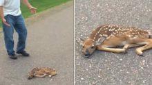 Yolun Ortasında Yatan Geyik Yavrusunu Görünce Yardıma Koştu – Yaptığı İlginç Hamleyle Hayvanın Hayatını Böyle Kurtardı