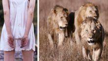 Kaçırılan 12 Yaşındaki Kızı Aslanlar Böyle Kurtardı- Aslanları küçük kızı korumaya iten şey neydi?
