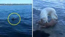 Köpek Boğulma Tehlikesi Geçiren Geyiğin Hayatını Böyle Kurtardı