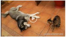 Köpek Kediyle Arkadaşlık Etmek İstese De Kedi Yüz Vermedi – Bakın Köpek Son Olarak Ne Yaptı😃😅
