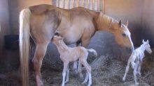 Kocaman Karınlı At Doğum Yaptı – Doğumdan Saniyeler Sonra Sahibi Yardım İstedi