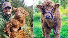Oyuncak Ayı Gibi Görünen Highland Sığırlarıyla Tanışın -ÇOK SEVİMLİLER =>>😍 😘