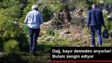 Kilosu 100 TL'ye Satılan Kuzugöbeği Mantarını Bulmak İçin Dağ, Tepe Demeden Arıyorlar