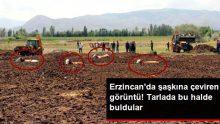 Erzincan'da şaşkına çeviren görüntü! İnekleri tarlada bu halde buldular