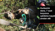 7 saat süren kaçak kurbanlık kovalamacası, hayvanın bayılmasıyla son buldu