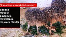 Eve sığmayan deve kuşları mahallenin maskotu oldu